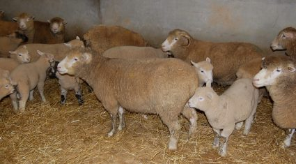 Managing the early lambing ewe