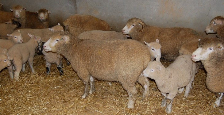 Body condition determines ewe feeding programmes
