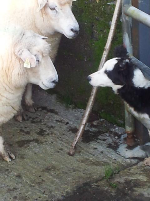 Nutrition, breeding, genetics key to sheep herd health