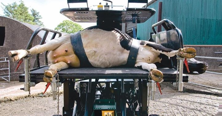 Rollover cows: Hoof crate innovation proving a big hit!