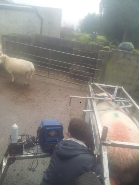 Sheep scanning results confirm high pregnancy rates