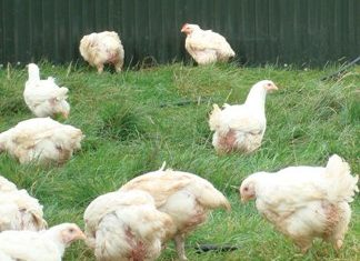 Test alteration simplifies diagnosis of poultry diseases