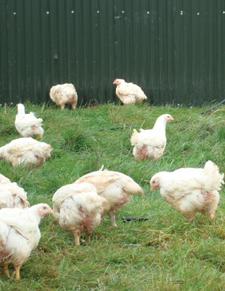 Northern poultry farmers to get free campylobacter test kits