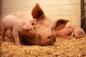 Emergency pigmeat meetings under way tonight as prices fall