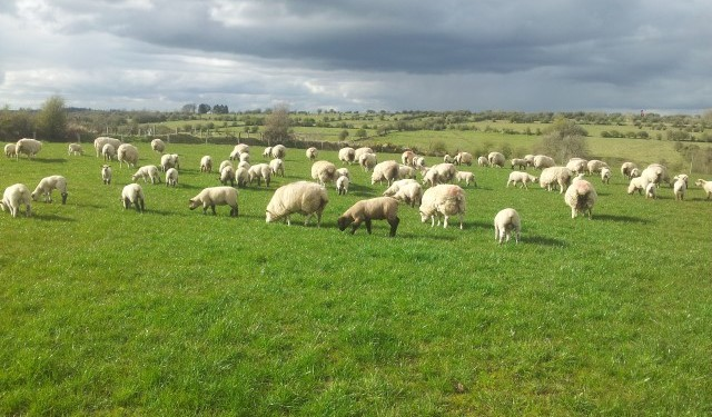 Busy time on Sheep Ireland CPT flocks
