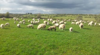 Sheep farm incomes set to recover in 2014