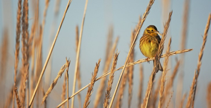 Research finds special wildlife scheme beats organic at boosting birds