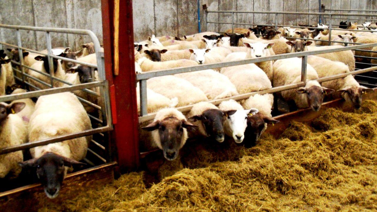 Ewe management advice pre-lambing