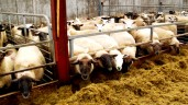 Sheep farmers 'at mercy of factories' on carcass trim, weights and grading