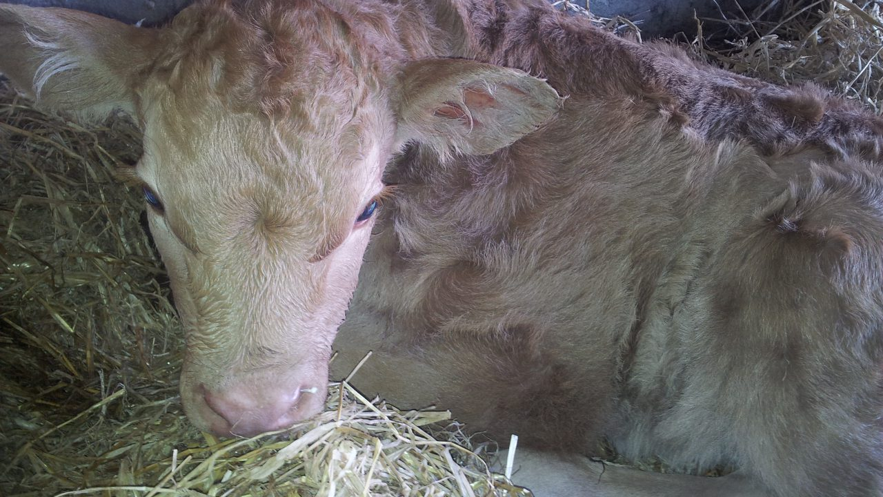 Farmers pay heavy price at calving for mineral and vitamin deficiencies