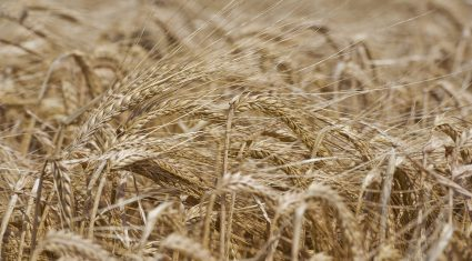 New research could lead to flood-tolerant cereals
