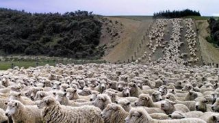 Sheep and cheerful: Call out for 6,000 Irish sheep