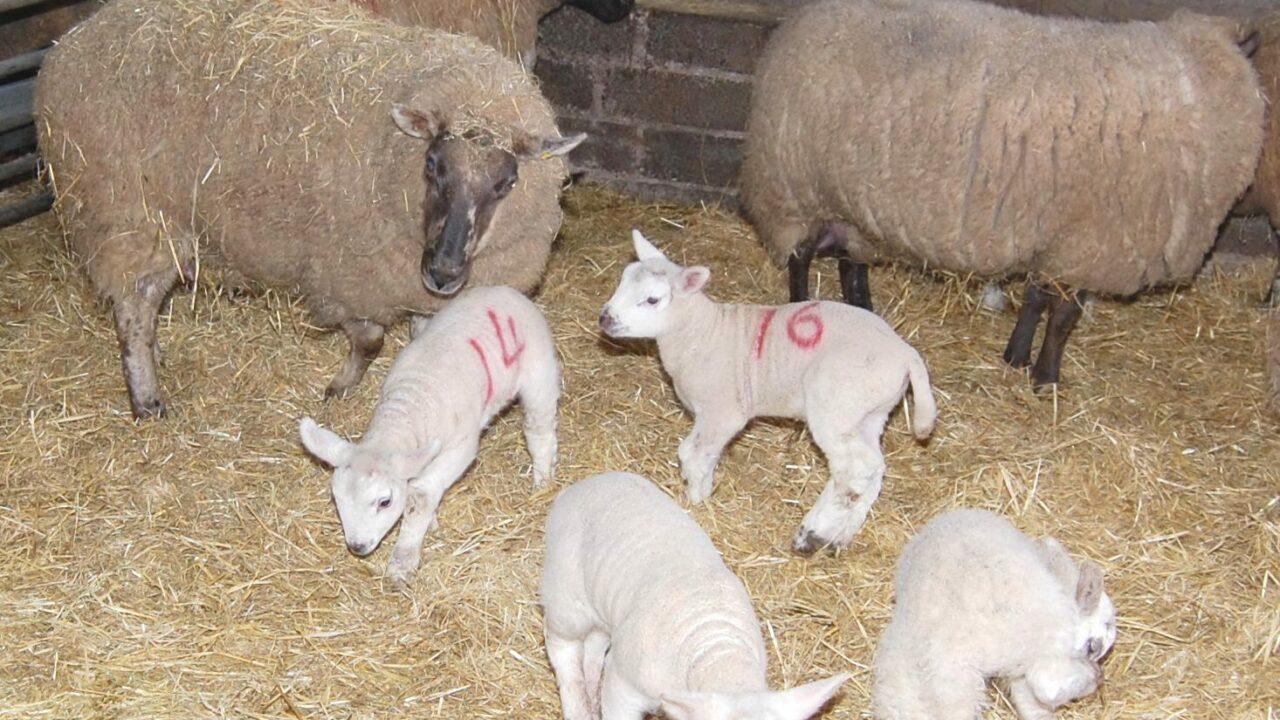 Genetics research to improve ewe longevity