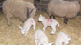 Ewe defies million-to-one odds to give birth to 6 lambs
