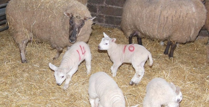 Newborn lambs and in-lambs ewes stolen in the North