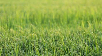 Lambs perform poorly on 'stemmy' grass