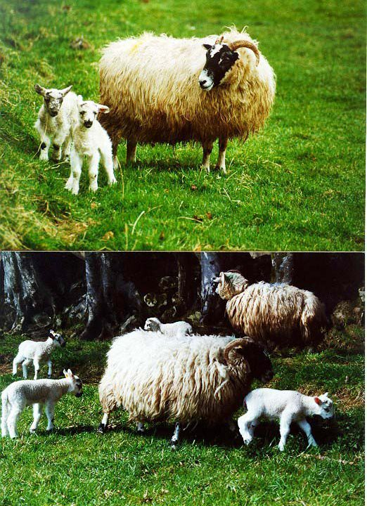 Beef and sheep management advice