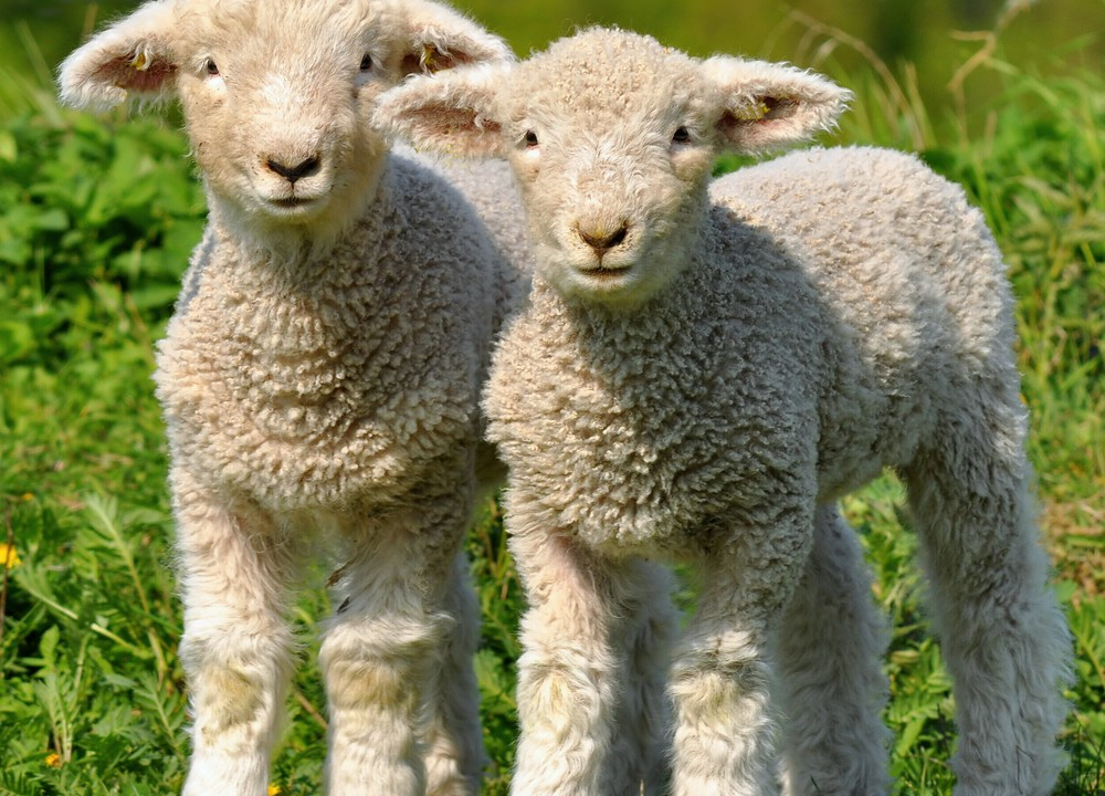 Meath teens develop sheep collar monitor to combat attacks