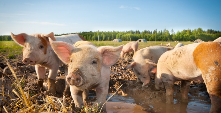 Irish pigs a hit Down Under