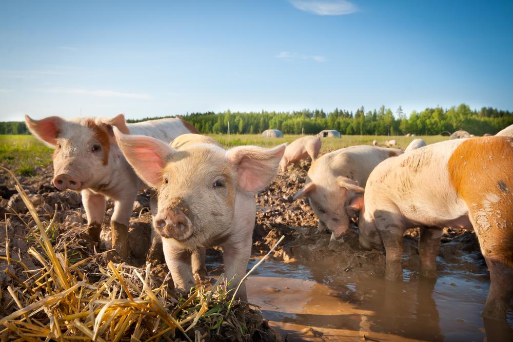 Irish pigs a hit Down Under