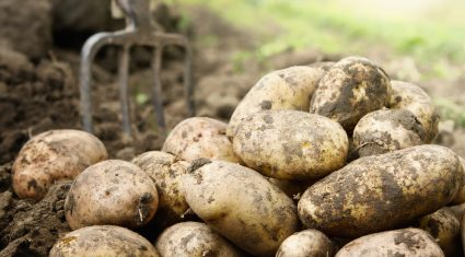 Potato harvest comes to a close with yields back 'close to 10%'