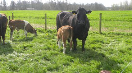 24-month calving key for Kildalton suckler herd