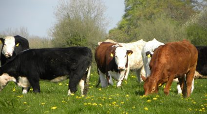 7 steps to reduce herd health risks buying stock
