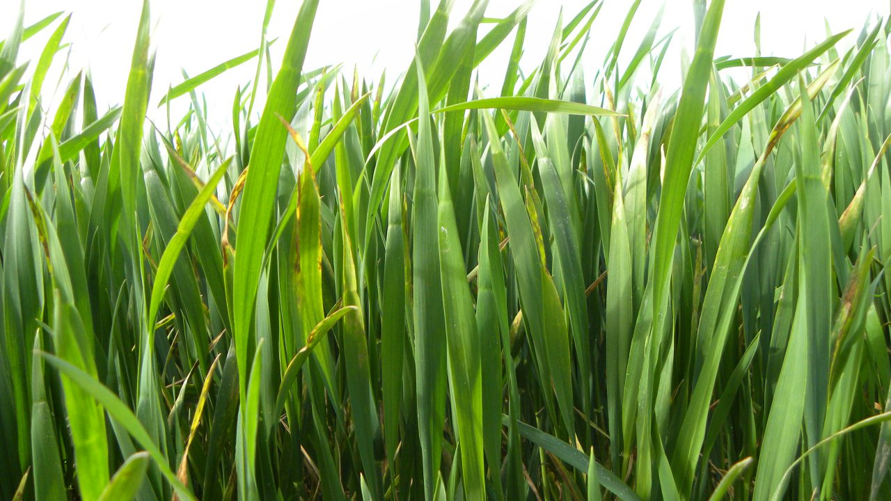 Strong growth for winter crops in recent weeks