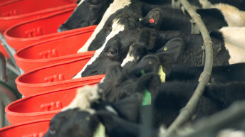 Who should consider selective dry cow therapy and why?