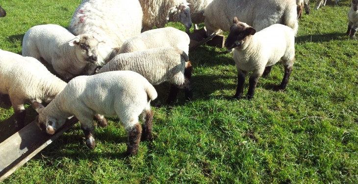 Department issue key advice to sheep farmers on parasites