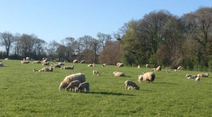 Worms can reduce lamb growth rates by 50%