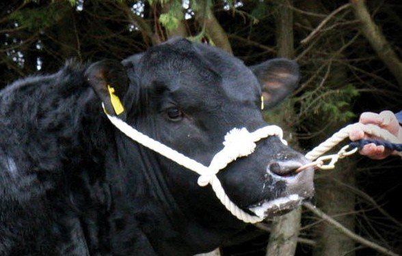 UK Angus Society commits to DNA profiling for every pedigree calf