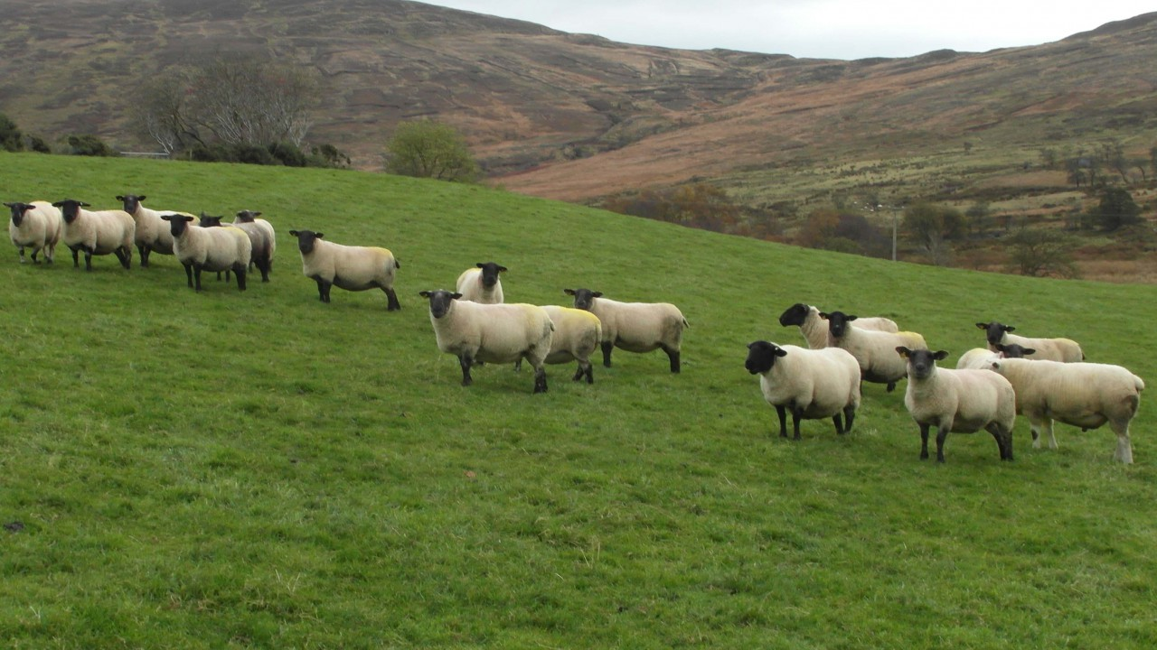 Irish sheepmeat exports jump to €220 million in 2013