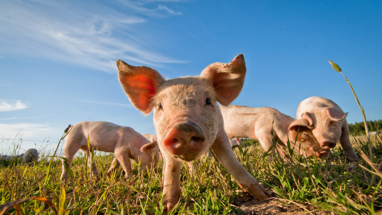 Maintaining growth in pigs weaned from large litters