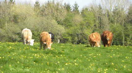 Northern Ireland beef industry on the brink – UFU
