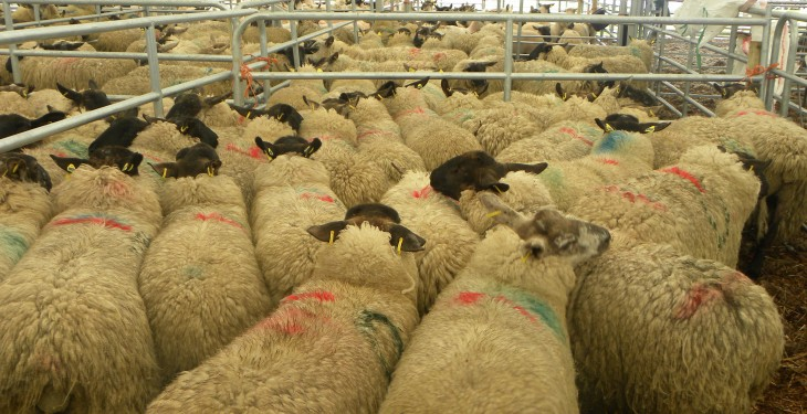 EU sheepmeat production to drop by 2% in 2014