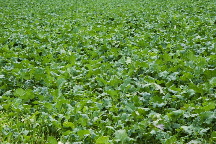 Kale crop in October. Photo O'Gorman Photography.