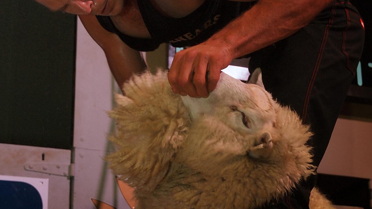 Kiwi team at sheep shearing