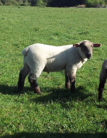 Minister has to resolve sheep grassland issue – IFA