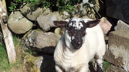 Spring lamb at 5.60c/kg this week – IFA