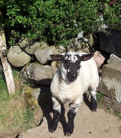 Spring lamb to hit Aldi shevles