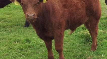 Beef calf registrations rebound in May