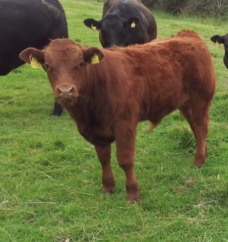 Beef-sired calf registrations declining in Northern Ireland