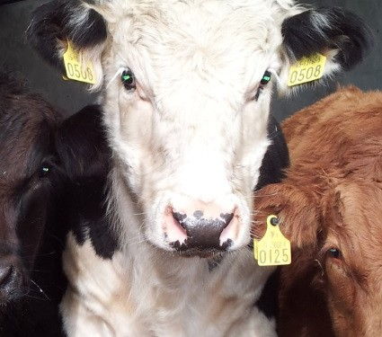 Liver Fluke affects nearly 1 in 4 British Cattle