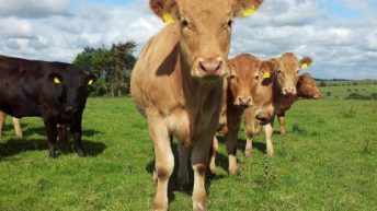 EU cattle prices: Ireland remains in fifth place