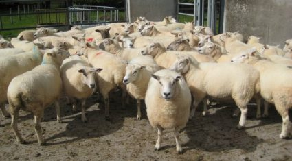 Litter sizes up on most sheep farms