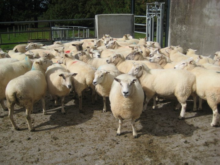 Promising outlook for sheep sector, despite decline in flock