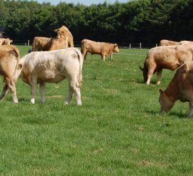 4 tips to deal with a grass shortage for beef cattle in May