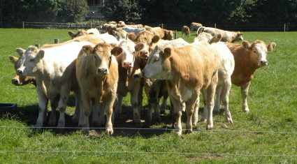 Cattle trade steady with little change in export markets – Bord Bia