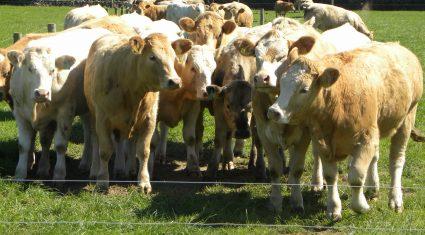 Ó Cuív calls for Minister to Establish Independent Beef Regulator